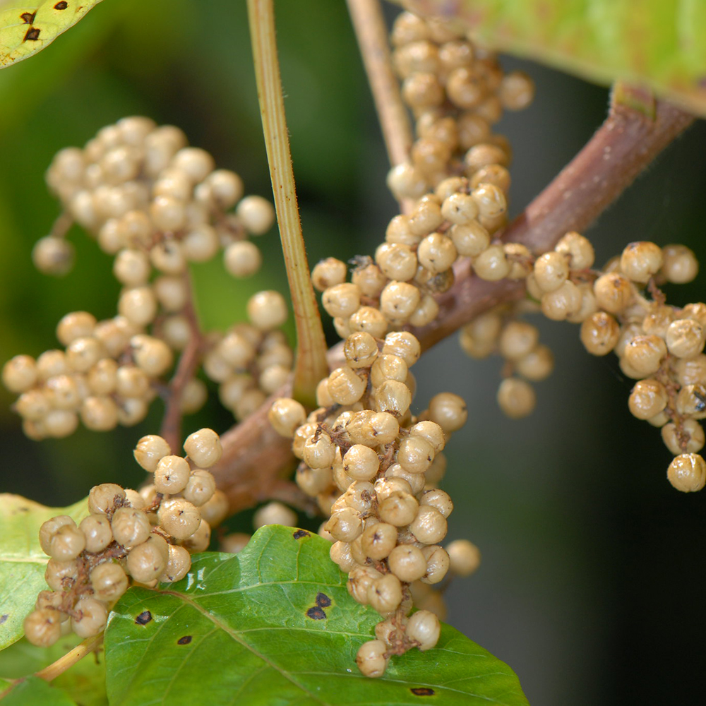 Poison ivy berries-Sam Fraser-Smith