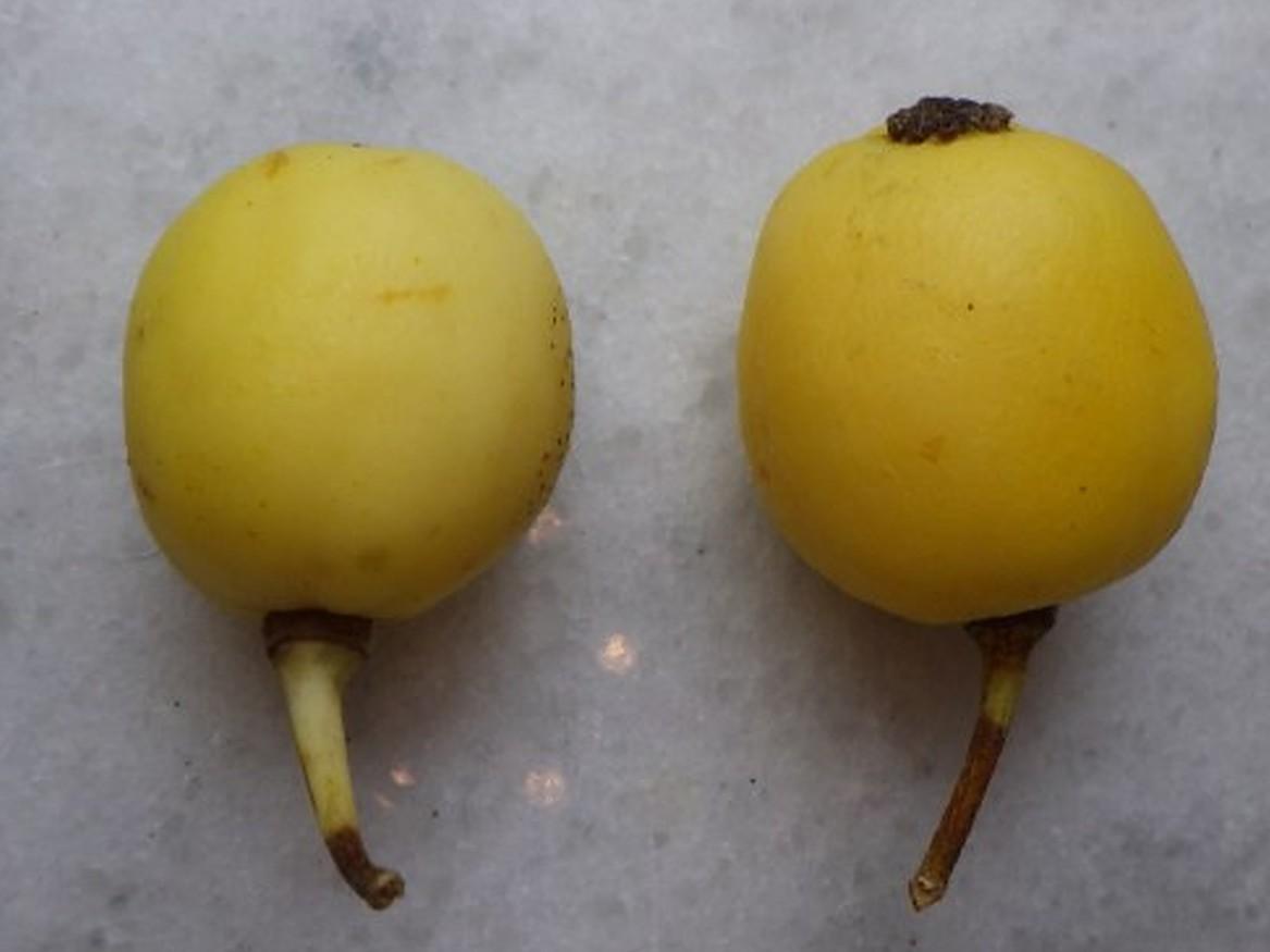 Ripe mayapple fruit