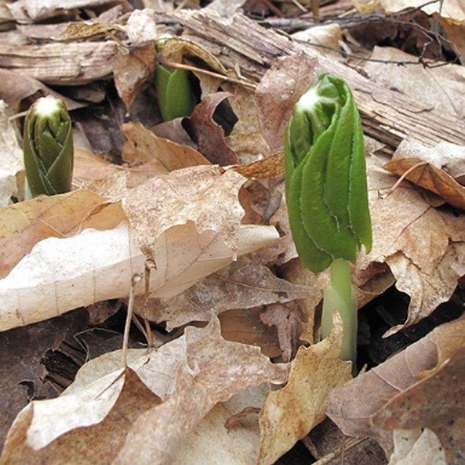 Unfurling mayapple leaves