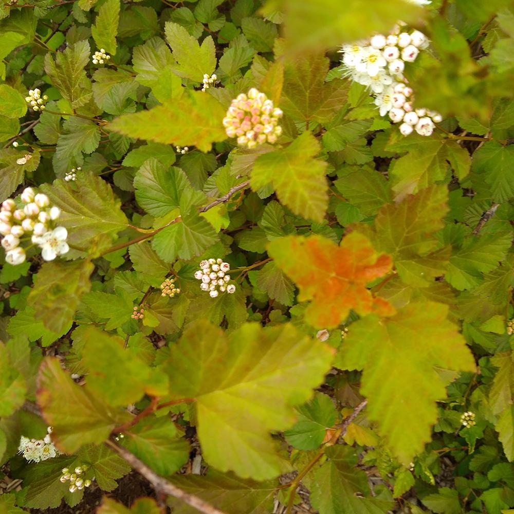Ninebark leaves