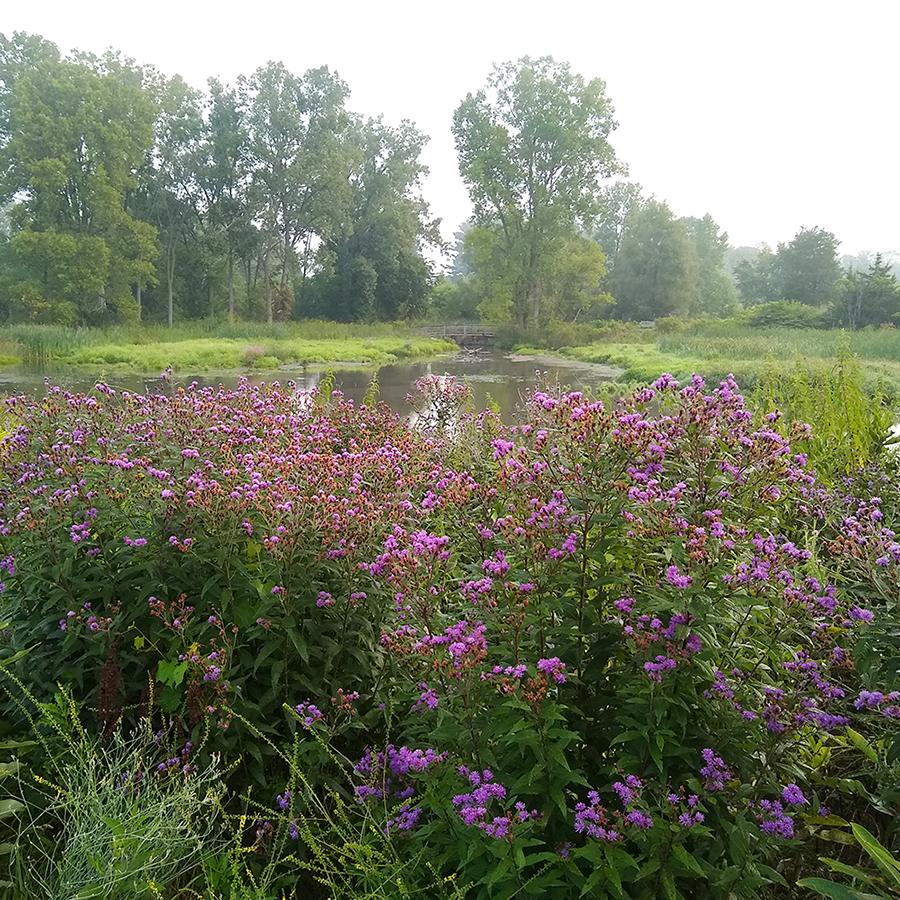 Drift of Vernonia missurica at Willow Pond, Matthaei