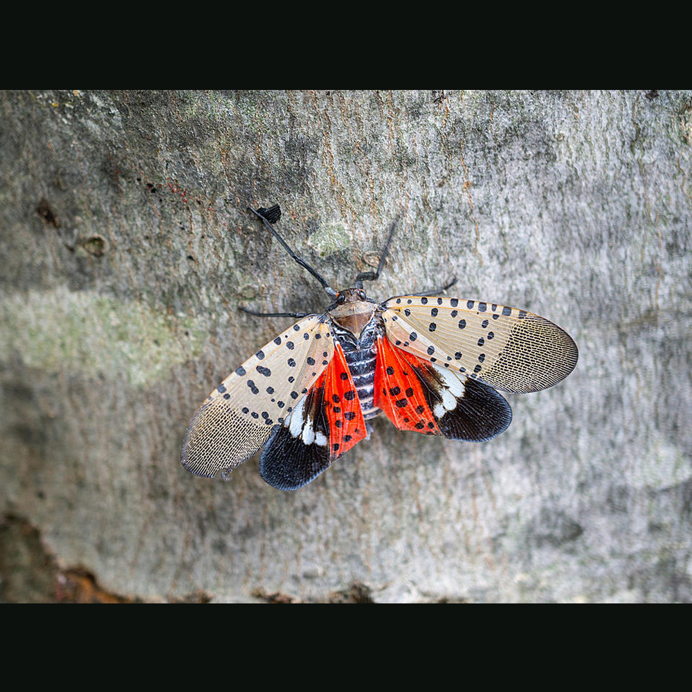 Adult lanternfly-Getty Images
