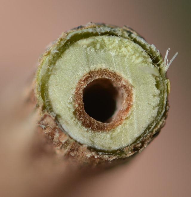 L maackii stem-Kentucky Native Plant Society