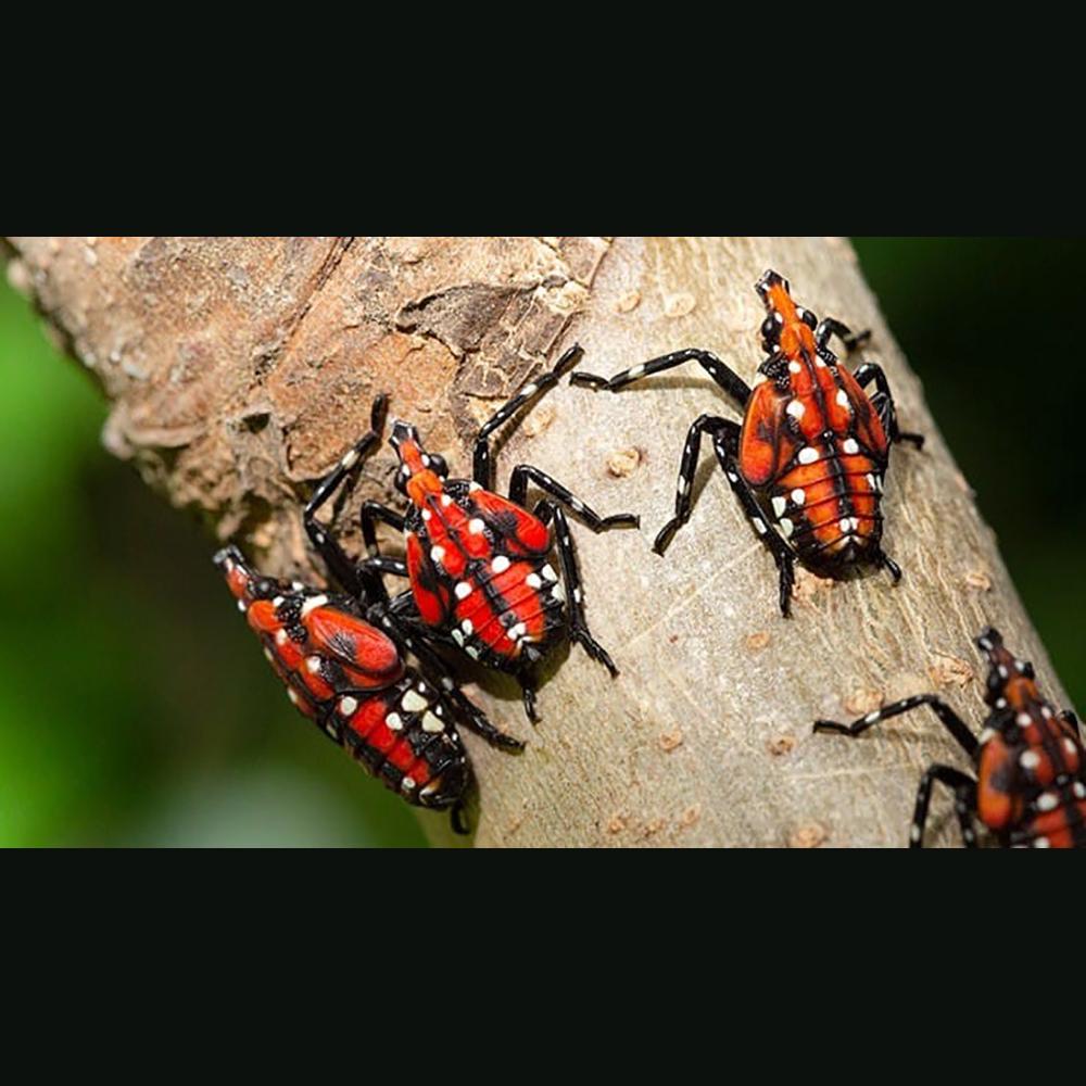 Lanternfly nymphs-Penn Dept Agri