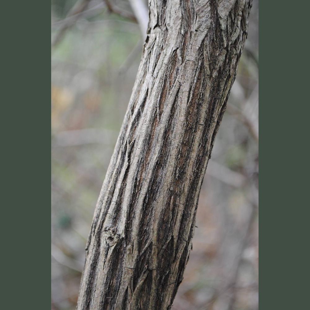 Lonicera maackii bark
