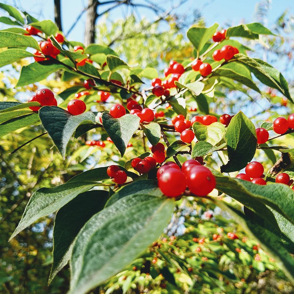 Lonicera maackii berries