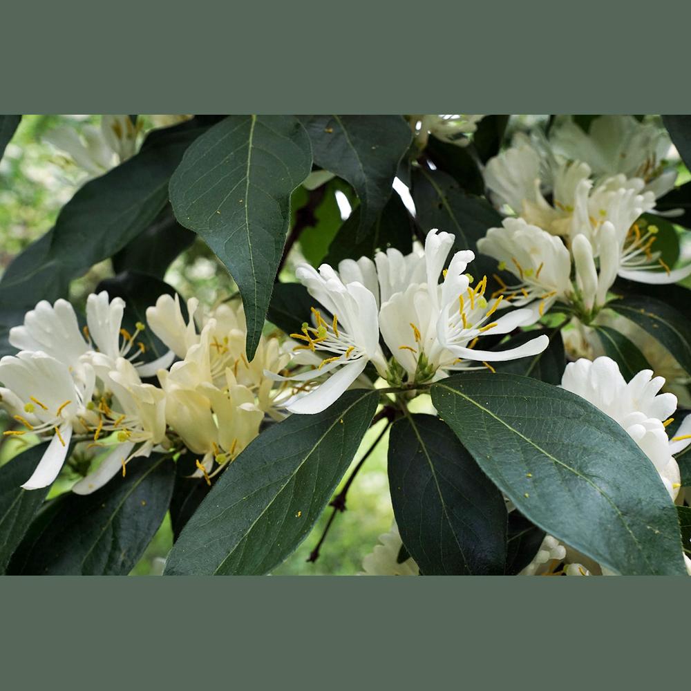 Lonicera maackii flowers