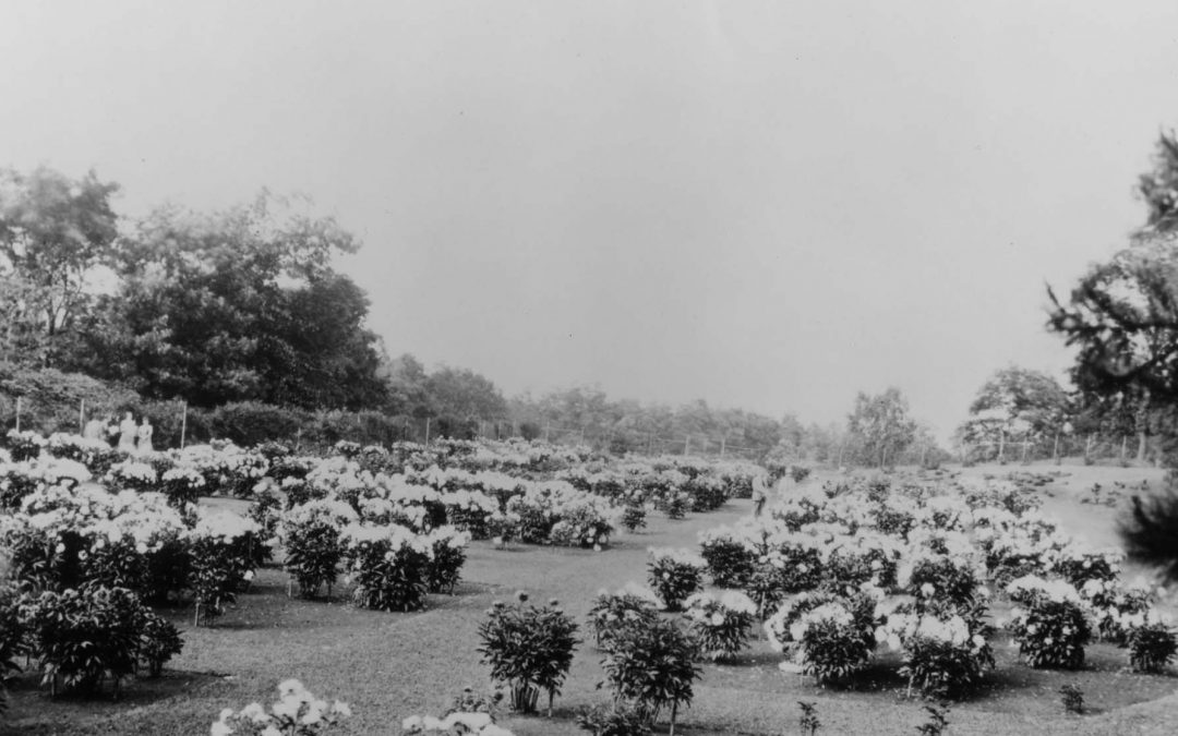 W. E. Upjohn donates collection of peonies to U-M