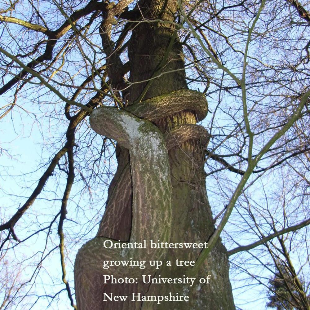 Oriental bittersweet climbing tree