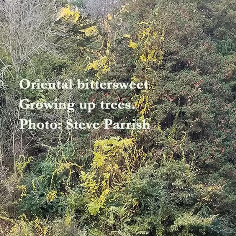 Oriental bittersweet growing up tree at Matthaei
