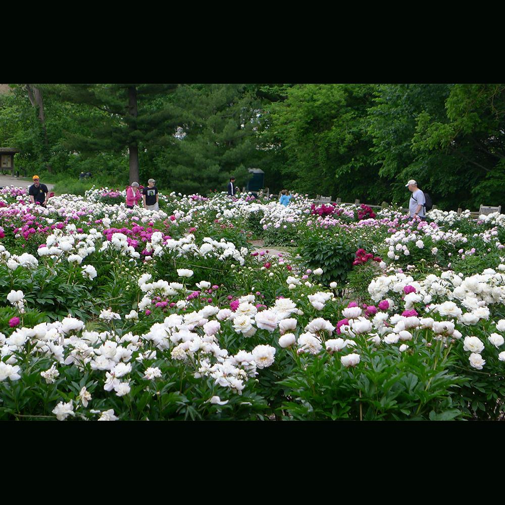 Peony garden in full bloom