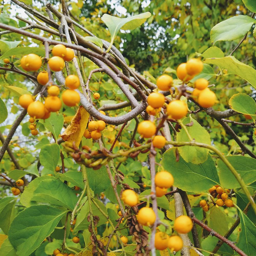 early fall oriental bittersweet fruits