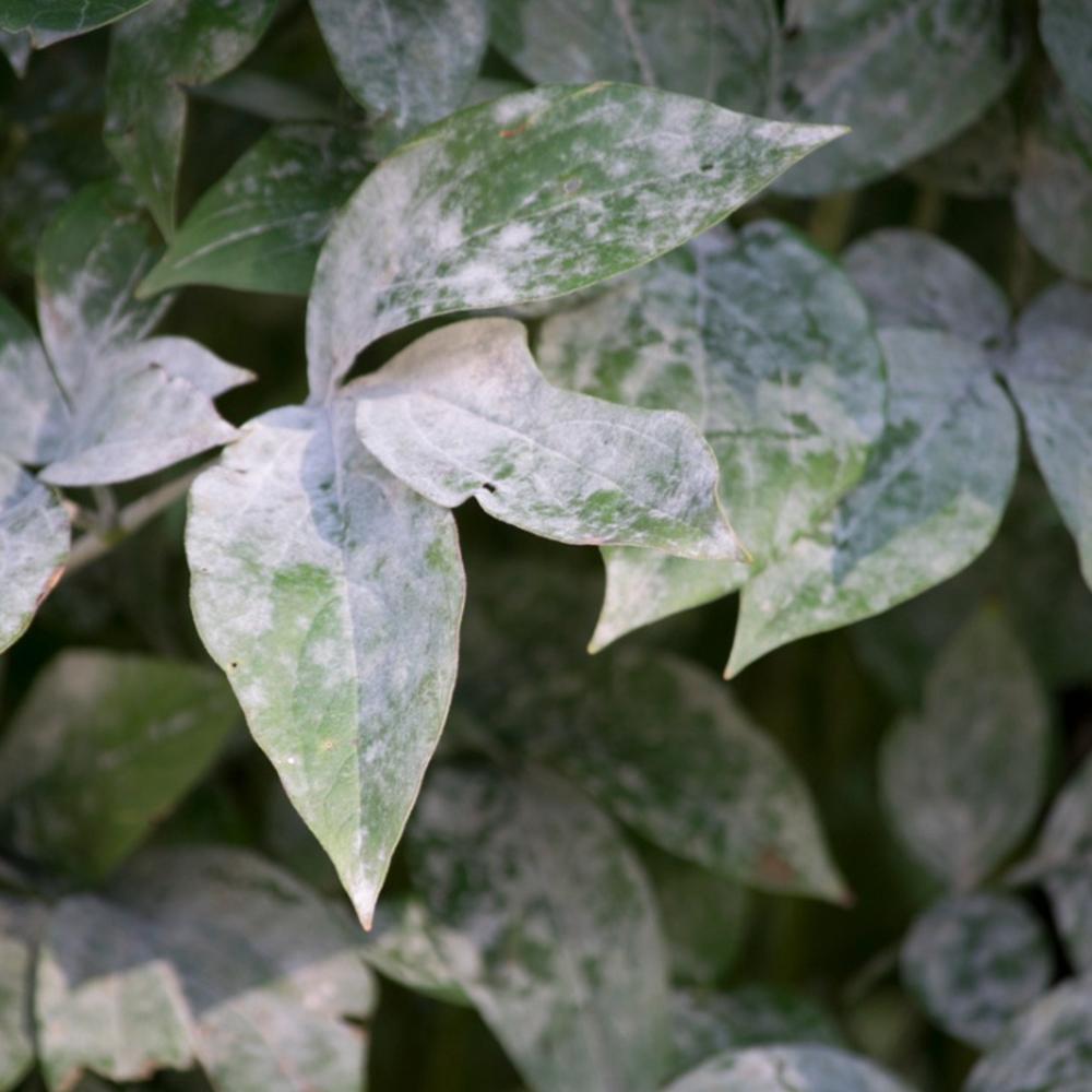 powdery-mildew-disease